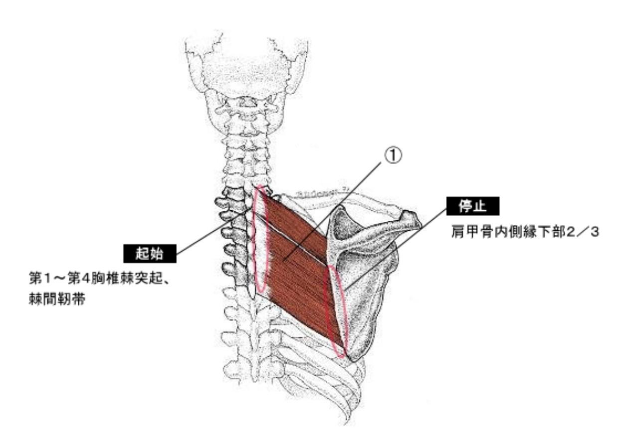 の 内側 甲骨 痛い 肩 が